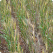 Crown rot in wheat appears as scattered white heads