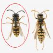 European wasp vs yellow paper wasp