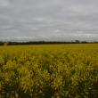 Flowering canola paddock