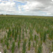 Poor wheat establishment on water repellent sandy gravel