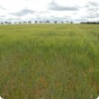 Barley with heads is shown with poorer growth and fewer heads in the foreground where no lime has been incorporated and with much better growth and more heads in the background where lime has been incorporated.