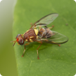 Sterile Queensland fruit fly (Qfly) marked with pink dye