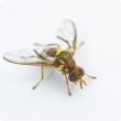 Sterile Queensland fruit fly (Qfly) with distinctive green dye