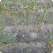 Image shows a few rows of wheat plants in untreated water repellent soil showing relatively few plants and low tiller numbers with gaps in the crop row and some later emerging wheat plants.