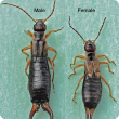 Shiny black insects with light brown legs and rear pincers (Male left, female right)