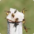 Photo caption: European wasps are attracted to proteins including fish.
