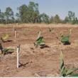 Microsprinklers in new plantation