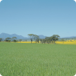 A field of wheat and canola