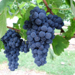 Fer wine grapes grown at Manjimup