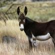 Feral donkey.