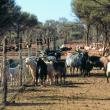 Feral goats along a fence line.