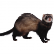 Ferret (Mustela putorius furo) - not indigenous to Australia. Photo: Photodisc/Alamy.