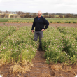 Department of Agriculture and Food research officer Dr Ron Yates in a research plot of Wharton field peas at Katanning Research Facility sown as part of a new Grains Flagship project to overcome constraints to early sowing and boost productivity.