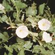 White field bindweed flowers.