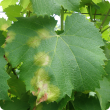 Grape leaf showing oil spots caused by downy mildew of grapes