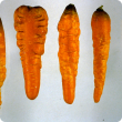 A number of carrots showing the symptoms of severe root damage caused by carrot virus Y