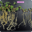 Poor nodulation and lower biomass production in sub-clover plants that failed to effectively nodulate due to soil acidity.