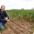 DAFWA researcher Martin Harries inspecting plots of Howzat chickpea infected with ascochyta blight.