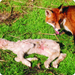 A fox sitting next to the body of a dead lamb