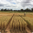 Man in grains trial plot