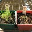 Red brome plants treated with 4 L/ha glyphosate