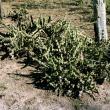 Harrisia cactus