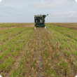 Small plot harvester harvesting a wheat crop sown over perennial pasture, which can be seen as a green understory.
