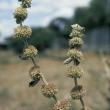 Horehound flowers