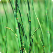 Close-up of horsetail plants