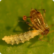 Hoverfly larva feeding on an aphid