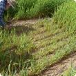 A sparse patch in an otherwise healthy barley crop