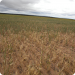 A sparse dry patch in an otherwise healthy wheat crop