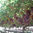 Western Australian table grapes
