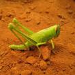 Immature spur-throated locust