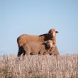 Sheep on stubble pasture