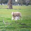 Young ewe with twins