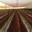 Capsicum crop in Carnarvon