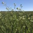 Wheat crop with wild radish.