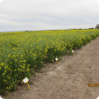 Flowering canola in density trial