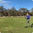 Researcher with sheep in paddock