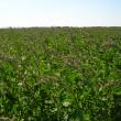 Quinoa crop