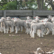 Young Merino lambs waiting to be marked.