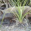 Feral pig in bush land