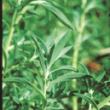 Kochia plant.