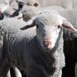 image of lambs