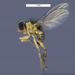 Liriomyza trifolii lateral view