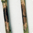 Phomopsis stem lesion before maturity