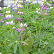 Photograph of a small sward of Pearl Lupin plants. The light green foliage, beautiful pinkish-purple, white and yellow flowers and a bunch of green, slightly hairy pods sitting erect on the stem can be seen.