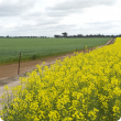 Canola and wheat growing in Western Australia