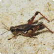 Wingless grasshopper adult